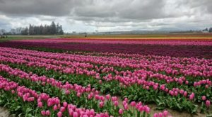 This Beautiful Tulip Festival Is One Spring Event In Washington You Don't Want To Miss