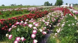 The Dreamy Peony Farm In Kentucky You'll Want To Visit This Spring