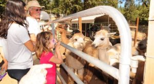 Visit This Northern California Alpaca Farm For A Fun And Fuzzy Adventure