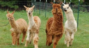 Visit This Wisconsin Alpaca Farm For A Fun And Fuzzy Adventure