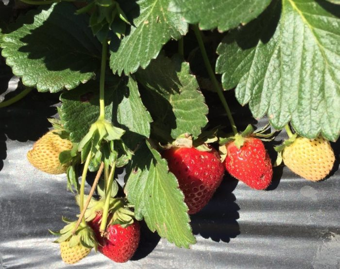 Sweet Berry Farm Is The Best Place To Pick Strawberries
