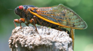 Get Ready For A Massive Swarm Of Cicadas To Invade Pennsylvania This Spring