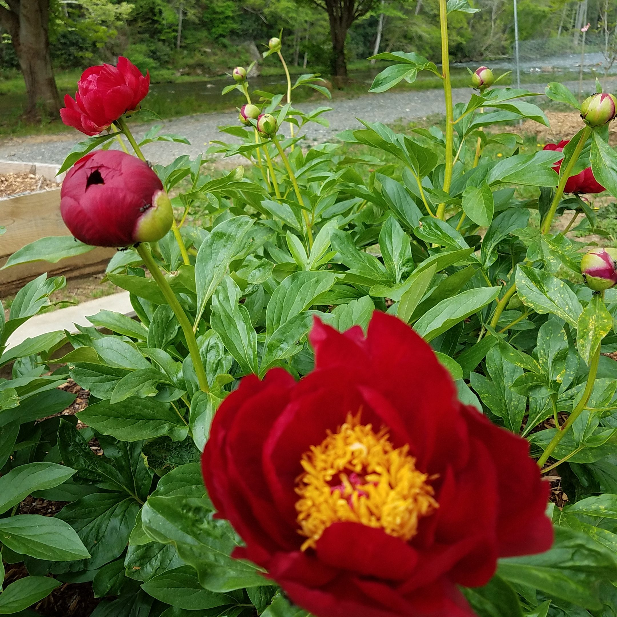 This Peony Festival In North Carolina Belongs On Everyone's