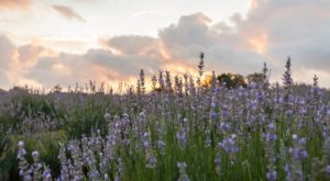 The Beautiful Lavender Farm Hiding In Plain Sight Near Austin That You Need To Visit
