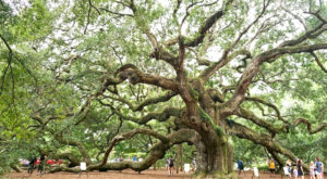 This South Carolina Ancient Tree Is The Coolest Thing You'll Ever See For Free