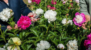 This Upcoming Peony Festival In North Carolina Belongs On Everyone's Bucket List This Spring