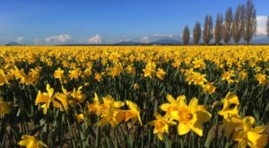 The Dreamy Daffodil Fields In Washington You'll Want To Visit This Spring