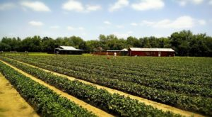 A Trip To This Sweet Berry Farm Near Austin Will Make Your Spring Complete