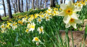 A Trip To Cleveland's Neverending Daffodil Field Will Make Your Spring Complete