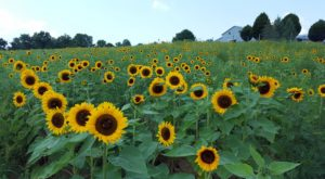Visit This Flower Farm In New Jersey For That Beautiful Scenic Experience You Crave