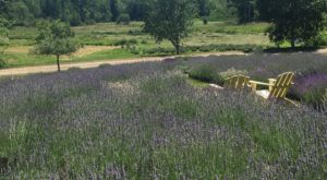 Visit This Lavender Farm In Maine For That Beautiful Scenic Experience You Crave