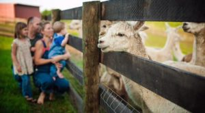 You Can Hang Out With Alpacas At This One-Of-A-Kind Farm In Kentucky