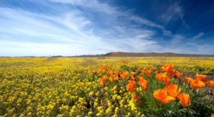 This Poppy Reserve In Arizona Will Be In Full Bloom Soon And It's An Extraordinary Sight To See