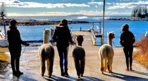 Go Hiking With Alpacas In Maine For An Adventure Unlike Any Other
