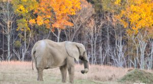 This Hidden Sanctuary Near Nashville Is Home To One Of The Largest Herds Of Elephants In America