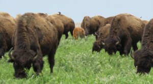 The Magical Place In Missouri Where You Can View A Wild Bison Herd