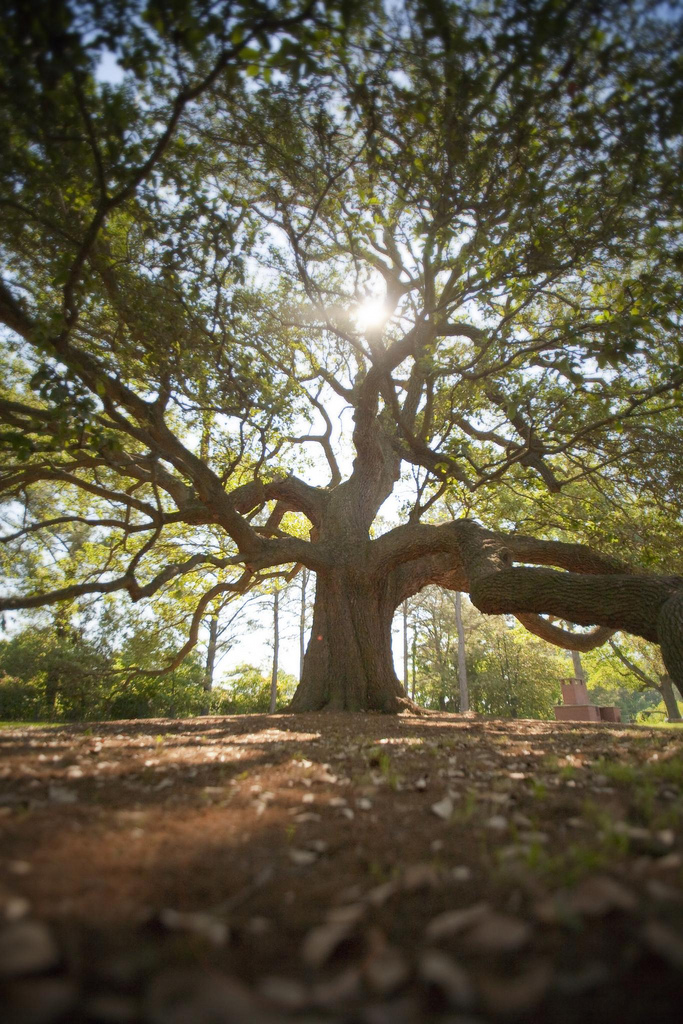 emancipation oak is one of the most iconic trees in virginia