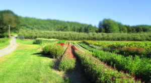 Make Spring Special With These 8 Farms In New Hampshire Where You Can Cut Your Own Flowers