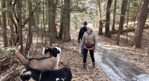 Go Hiking With Goats In Massachusetts For An Adventure Unlike Any Other