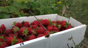 Take The Whole Family On A Day Trip To This Pick-Your-Own Strawberry Farm Near Cincinnati