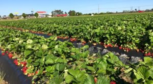 Take The Whole Family On A Day Trip To This Pick-Your-Own Strawberry Farm In South Carolina