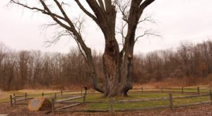 There's No Other Historical Landmark In Ohio Quite Like This 300-Year-Old Tree