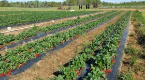 Take The Whole Family On A Day Trip To This Pick-Your-Own Strawberry Farm In Georgia