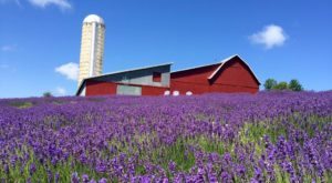 Get Lost In This Beautiful 33-Acre Lavender Farm In Michigan