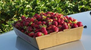 Take The Whole Family On A Day Trip To This Pick-Your-Own Strawberry Farm Near Detroit
