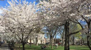 This Connecticut City Was Named One Of The Best Places To See Cherry Blossoms In The World