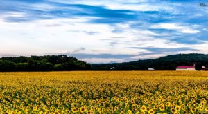 This 40-Acre U-Pick Sunflower Farm Near Nashville Is The Perfect Way To Spend An Afternoon