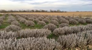 Visit This Lavender Farm In Nebraska For That Beautiful Scenic Experience You Crave