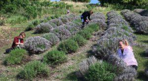 Kansas' Annual Lavender Festival Belongs On Your Summertime Bucket List