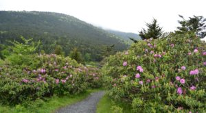 The Beautiful Mountain In Tennessee Where You Can See Thousands Of Rhododendrons In Bloom
