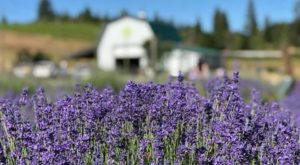 The Dreamy Lavender Farm In Northern California You'll Want To Visit Soon