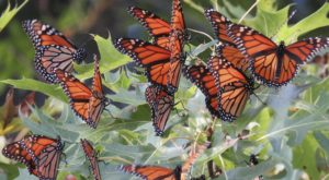 Millions and Millions of Monarch Butterflies Are Headed Straight For South Carolina This Spring