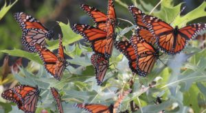 300 Million Monarch Butterflies Are Headed Straight For New Mexico This Spring