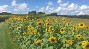 This U-Pick Sunflower Garden In Maryland Is The Perfect Way To Spend An Afternoon
