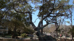 There's No Other Historical Landmark In North Carolina Quite Like This 800-Year-Old Tree