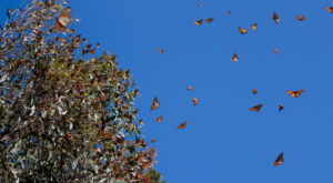 Over A Million Monarch Butterflies Are Headed Straight For Georgia This Spring