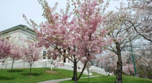 Buffalo's Cherry Blossom Festival Is The Most Beautiful Way To Celebrate Spring