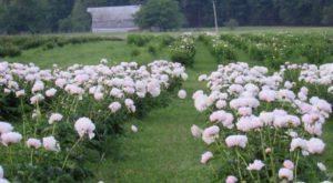 The Dreamy Peony Farm In Illinois You'll Want To Visit This Spring