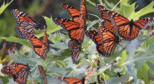 Millions and Millions of Monarch Butterflies Are Headed Straight For Indiana This Spring