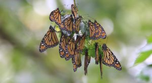 Millions Of Monarch Butterflies Are Headed Straight For South Dakota This Spring