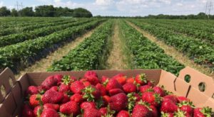 This 160-Acre U-Pick Berry Farm In Kansas Is The Perfect Way To Spend An Afternoon