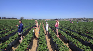 Take The Whole Family On A Day Trip To This Pick-Your-Own Strawberry Farm In Southern California