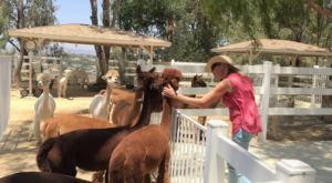 The Charming Little Alpaca Ranch In Southern California That Looks Straight Out Of A Storybook