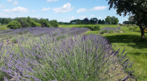 Get Lost In This Beautiful 15-Acre Lavender Farm Near Buffalo