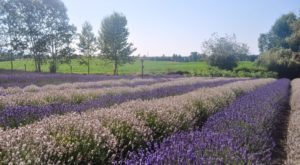 Get Lost In This Beautiful 10-Acre Lavender Farm In Washington