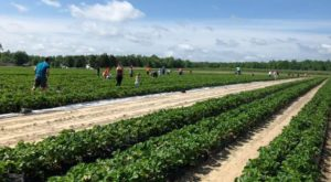 Take The Whole Family On A Day Trip To This Pick-Your-Own Strawberry Farm In Maryland